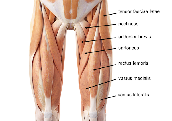 Thigh muscle anatomy