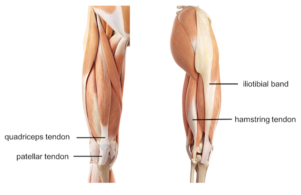 Femur knee lower leg anatomy the ilio tibial tendon is a hip abductor whereas the hamstring tendons are knee flexors ccuart Choice Image