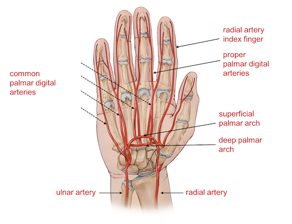 Anatomy of the fingers