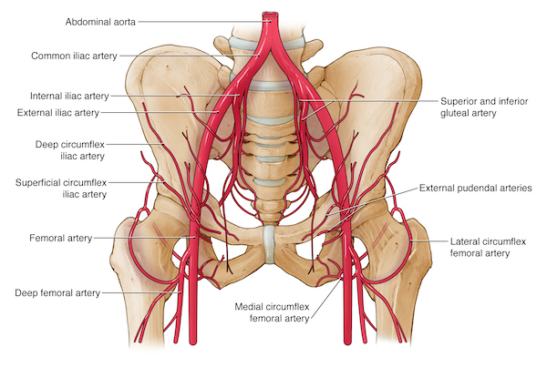 femoral artery vein and nerve relationship goals