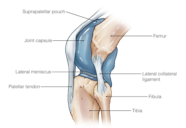 Femur knee lower leg anatomy the knee capsule is held together by ligaments that permit a wide range of movements its function is also to stabilise the knee when in standing and ccuart Images