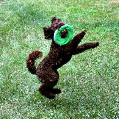Training Your Labradoodle