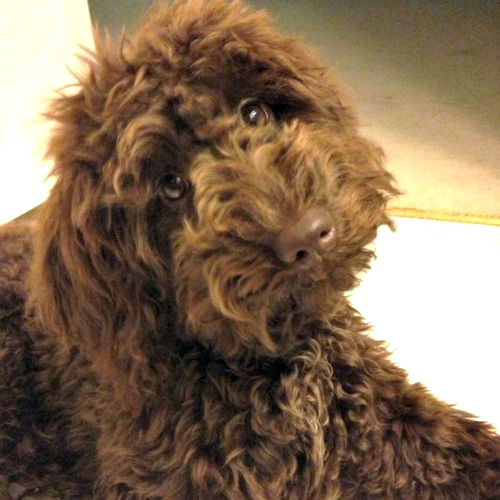 gracie s past litters of chocolate australian labradoodles