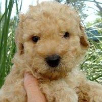Aussie – Cream Australian Labradoodle