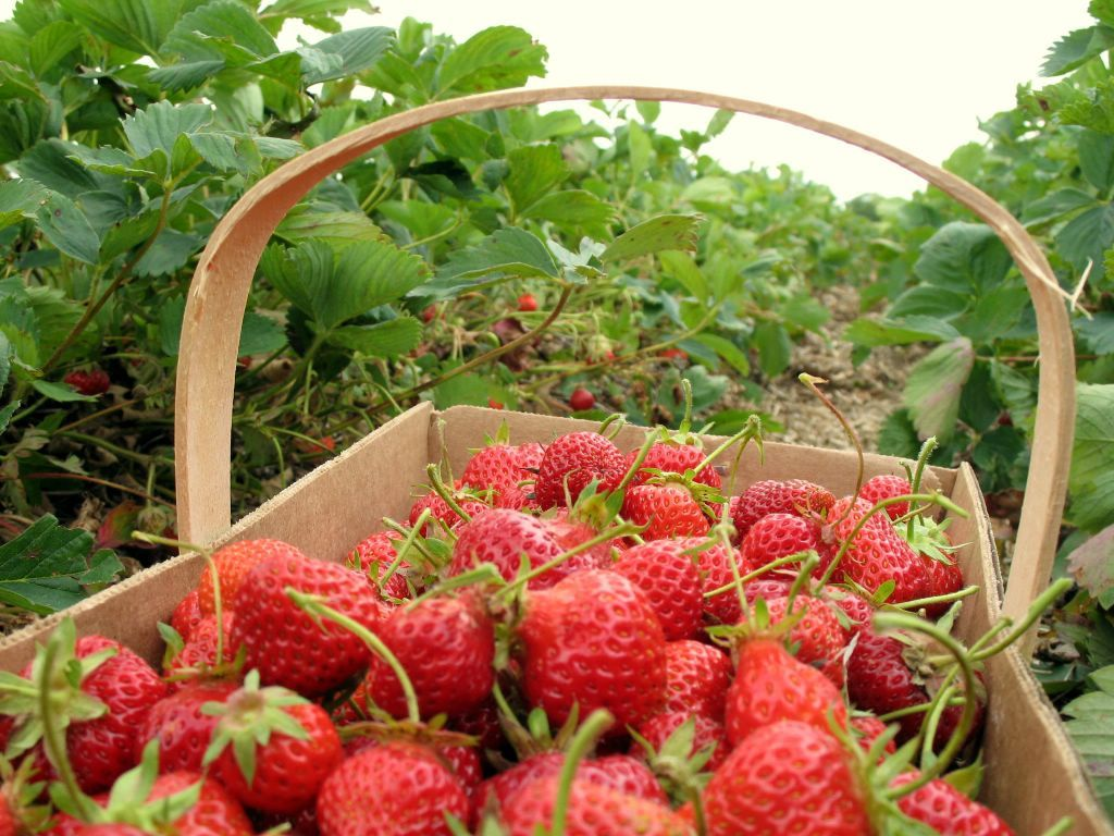 HazelBlog Article Banner: An analysis of the strawberry agromarket