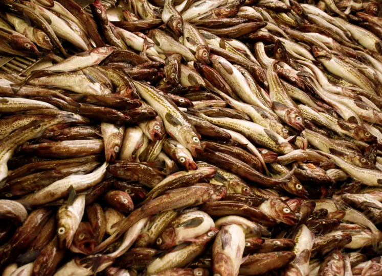 millions of pounds of fish are wasted each year because they are not premium fish types