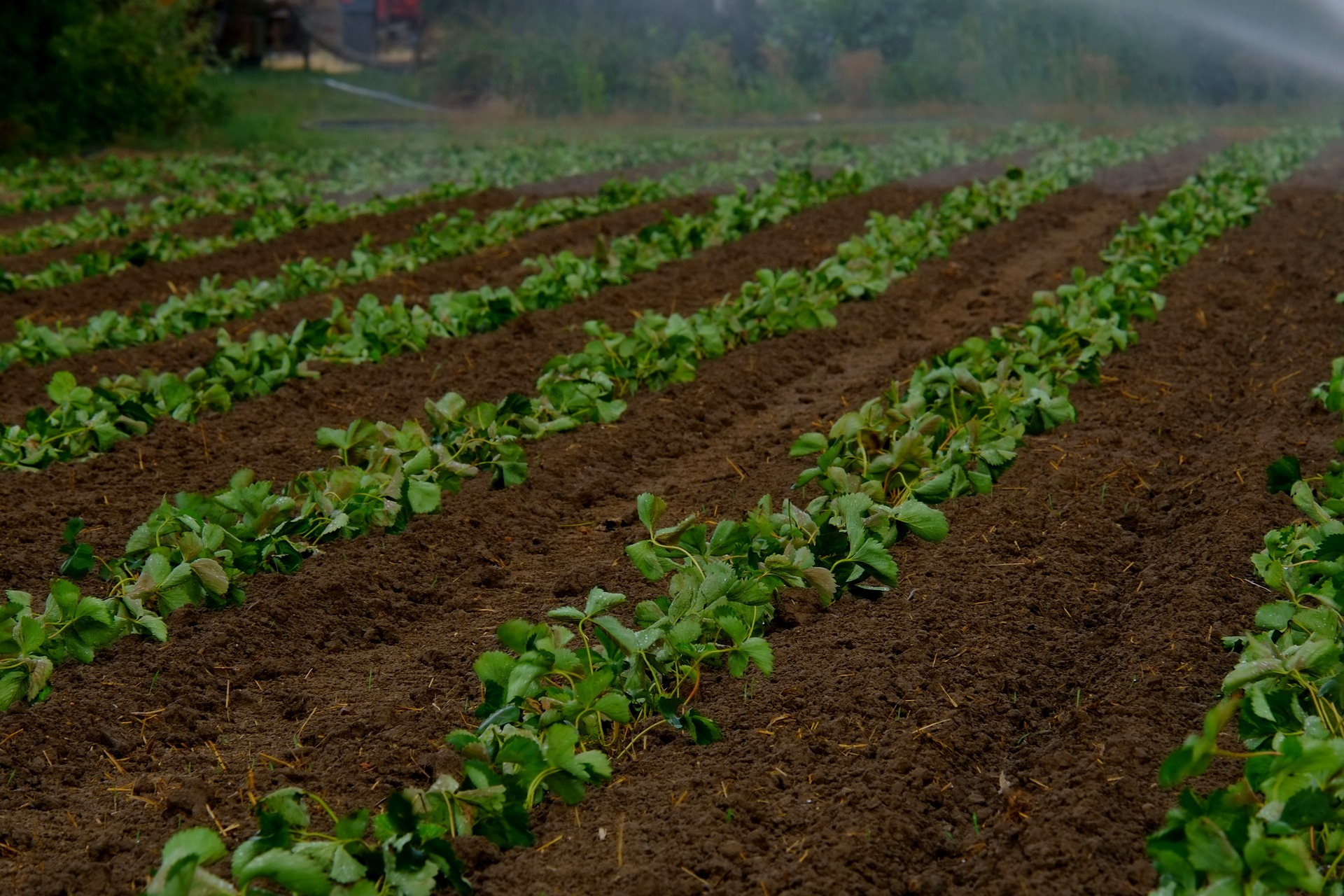 field with leafy green produce