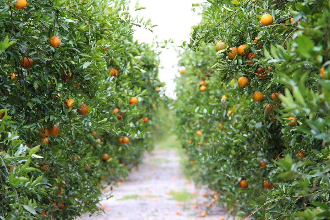 Originally started with one citrus tree, Joshua Citrus grew into a business lasting  six-generations