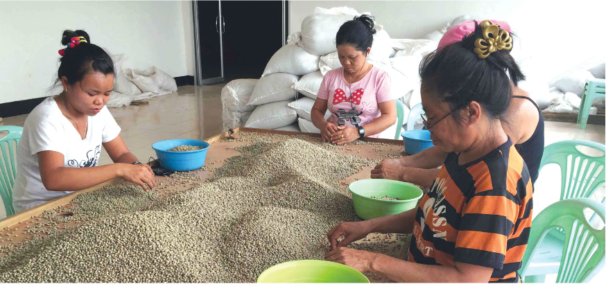 Women sorting dry coffee beans for quality
