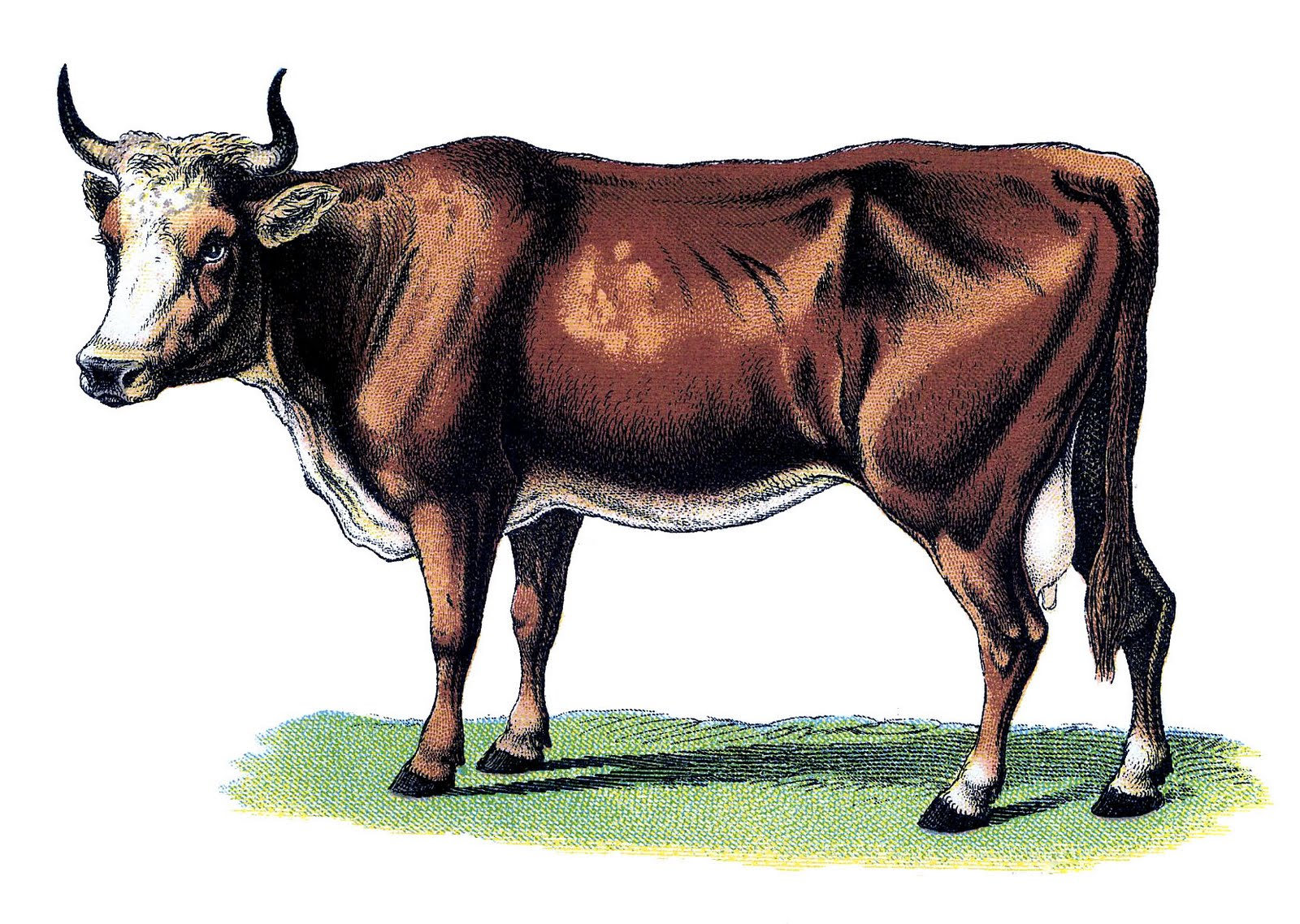 Drawing of an Ox, representing the Wisdom of Crowds