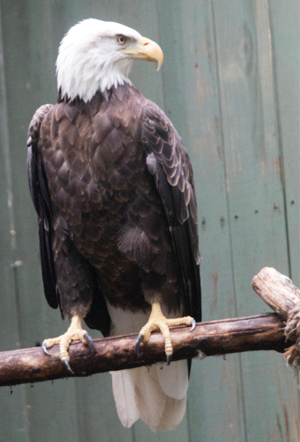 Bald Eagle Elmwood 1