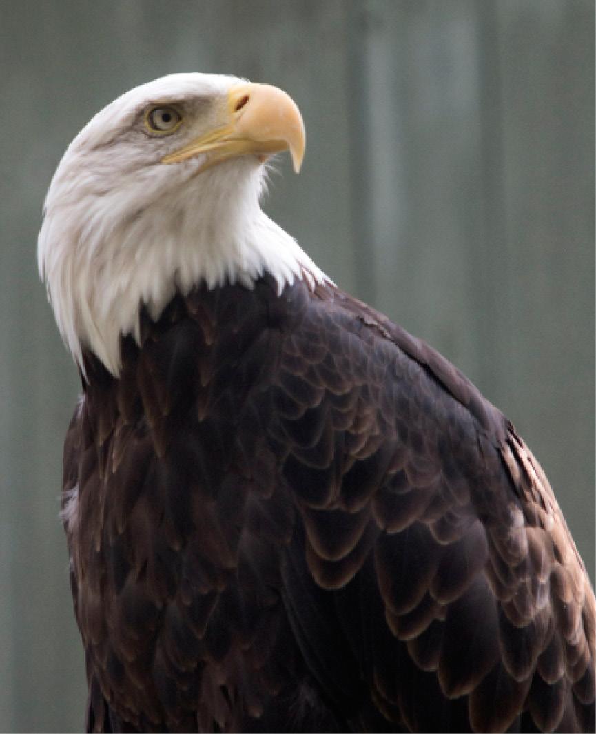Bald Eagle Elmwood 2