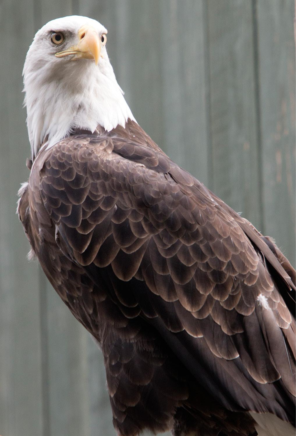 Bald Eagle - Lafayette 1