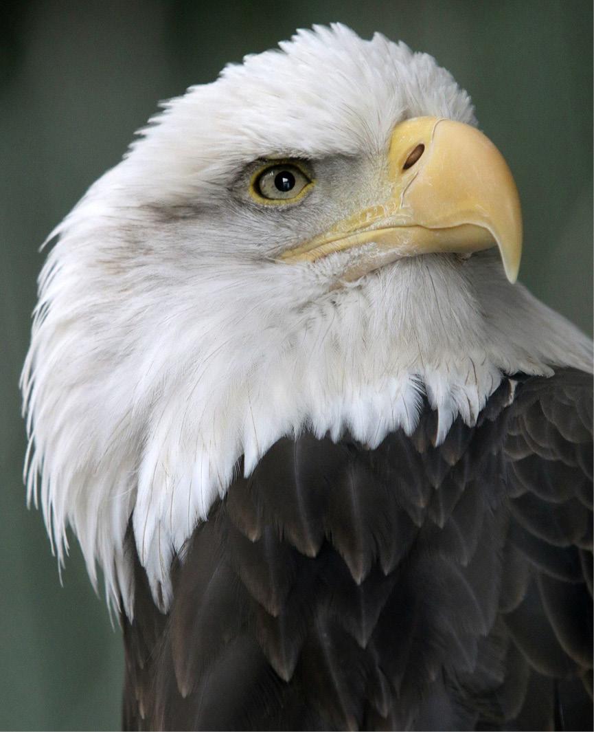 Bald Eagle - Lafayette 2