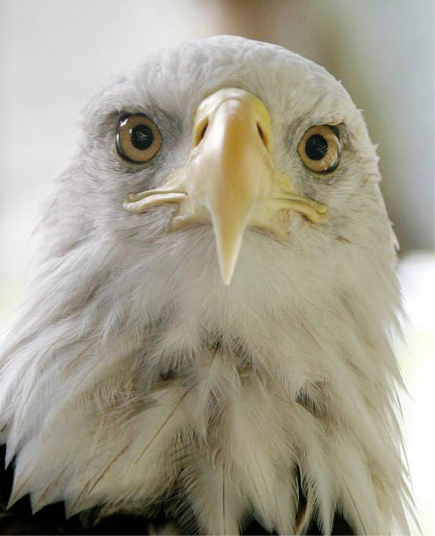 Bald Eagle - Lafayette 3