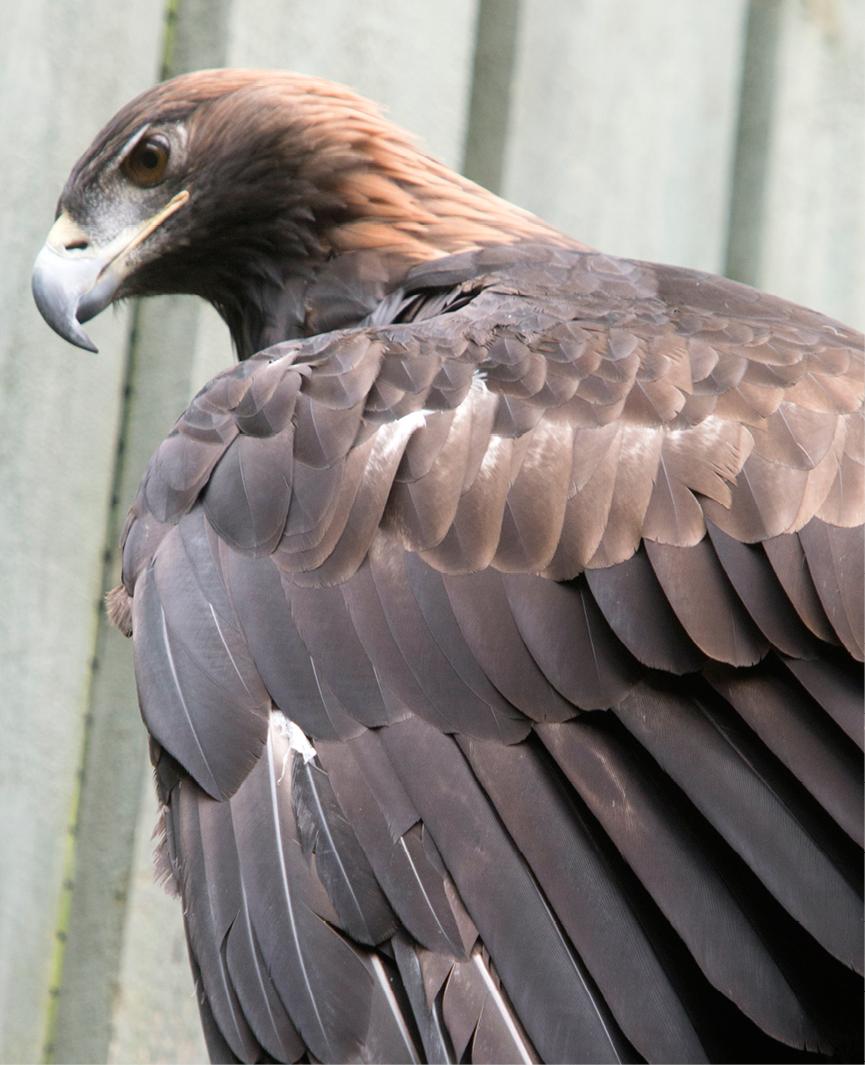 Golden Eagle Arizona 3