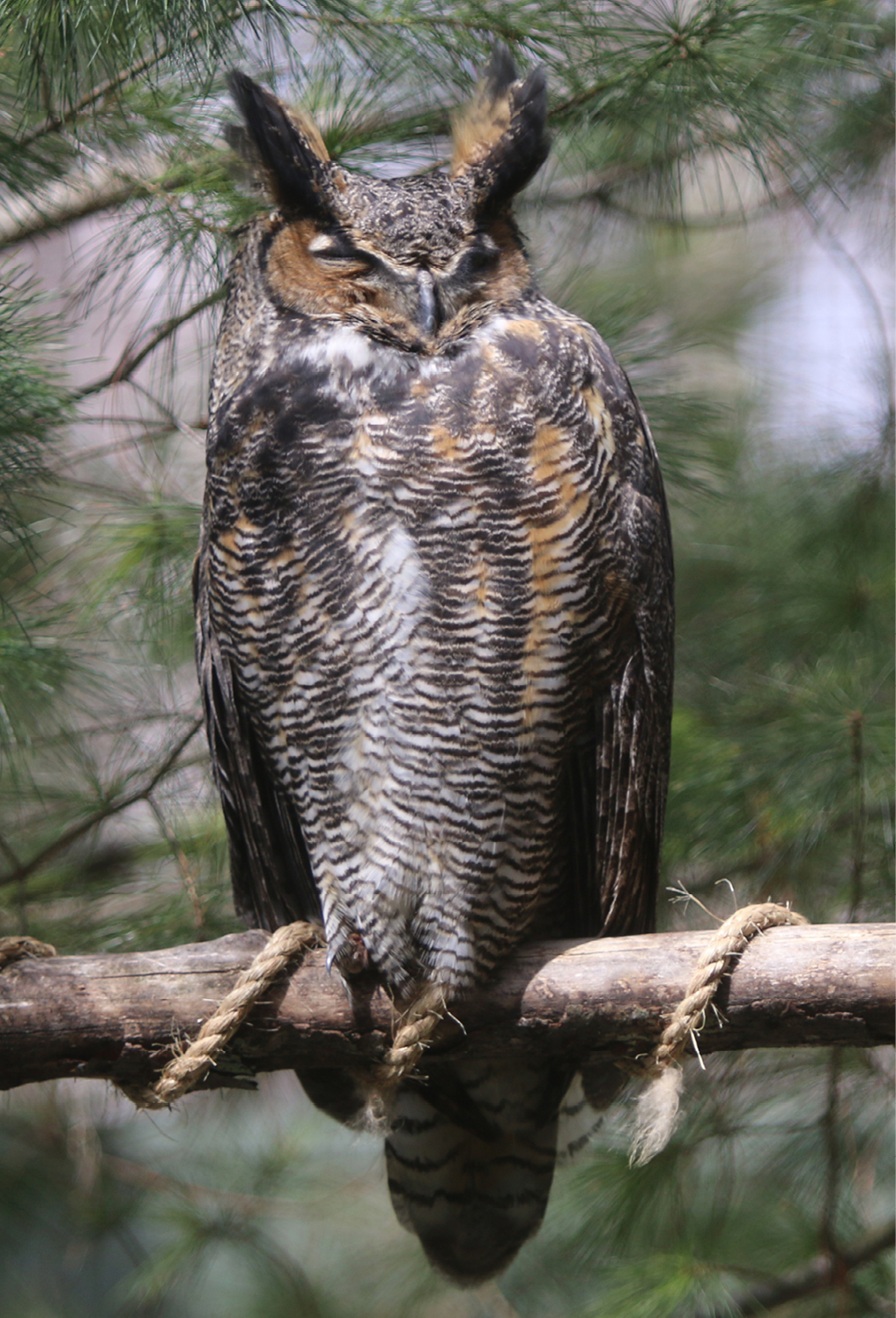 Great Horned Owl Barnard 1