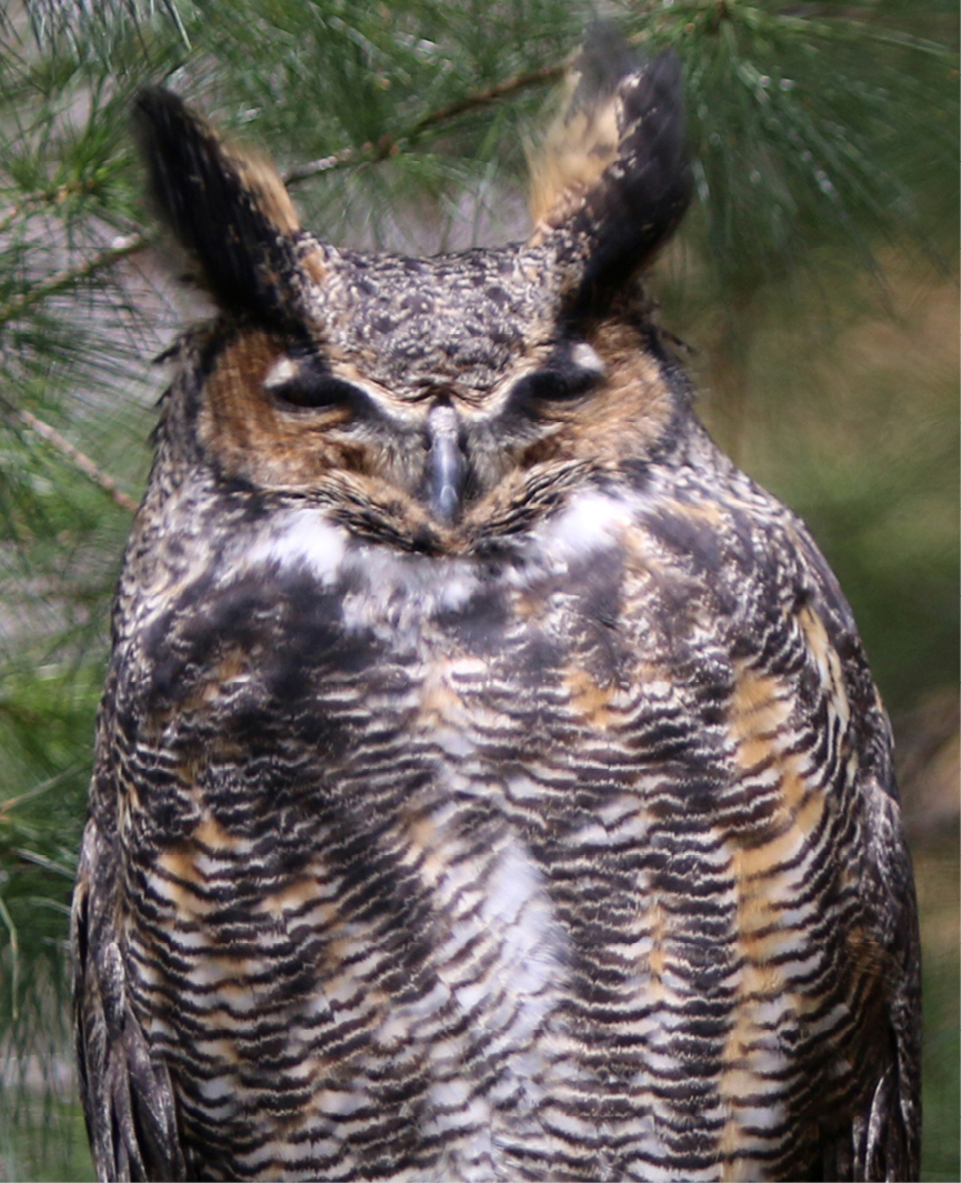 Great Horned Owl Barnard 3