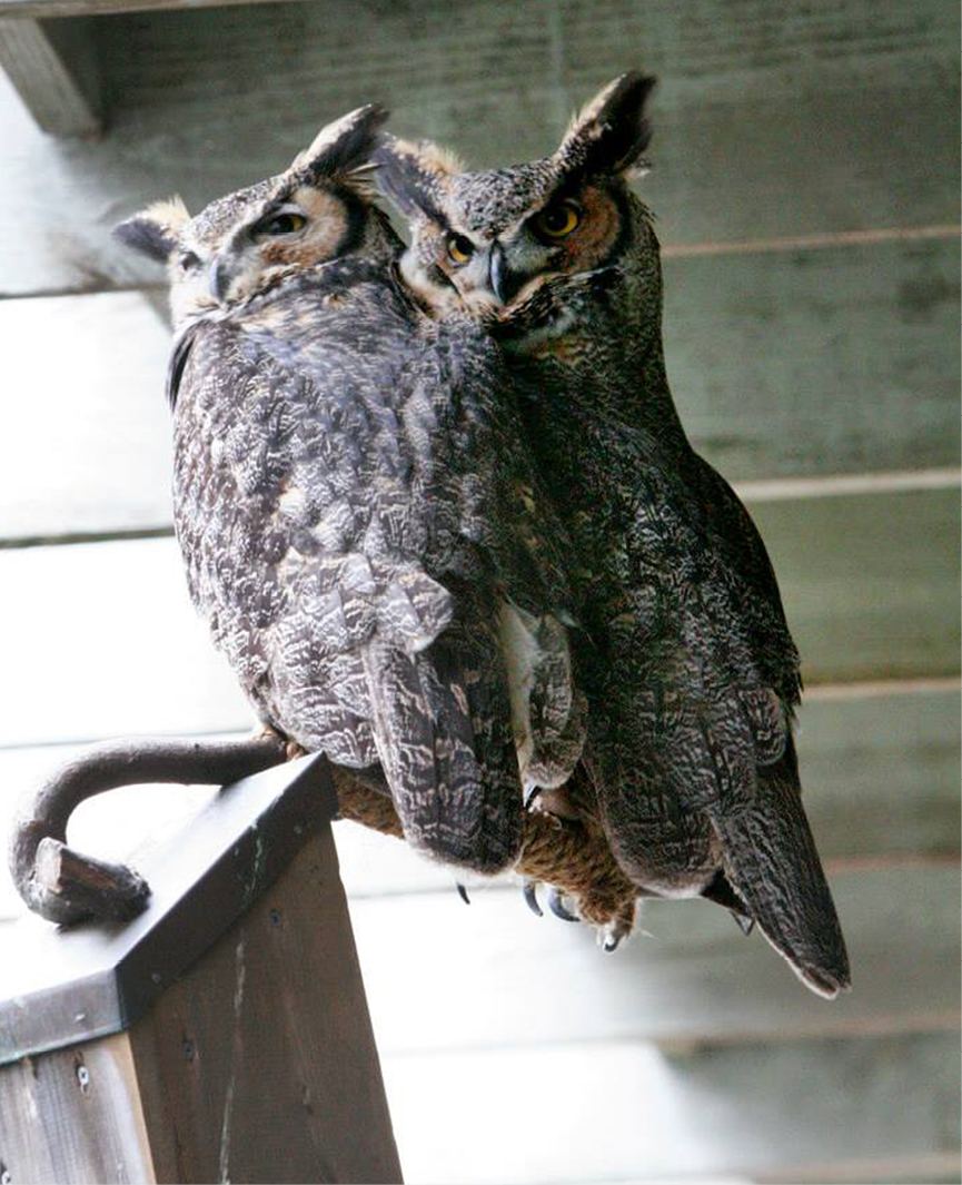 Great Horned Owl Barnard 2