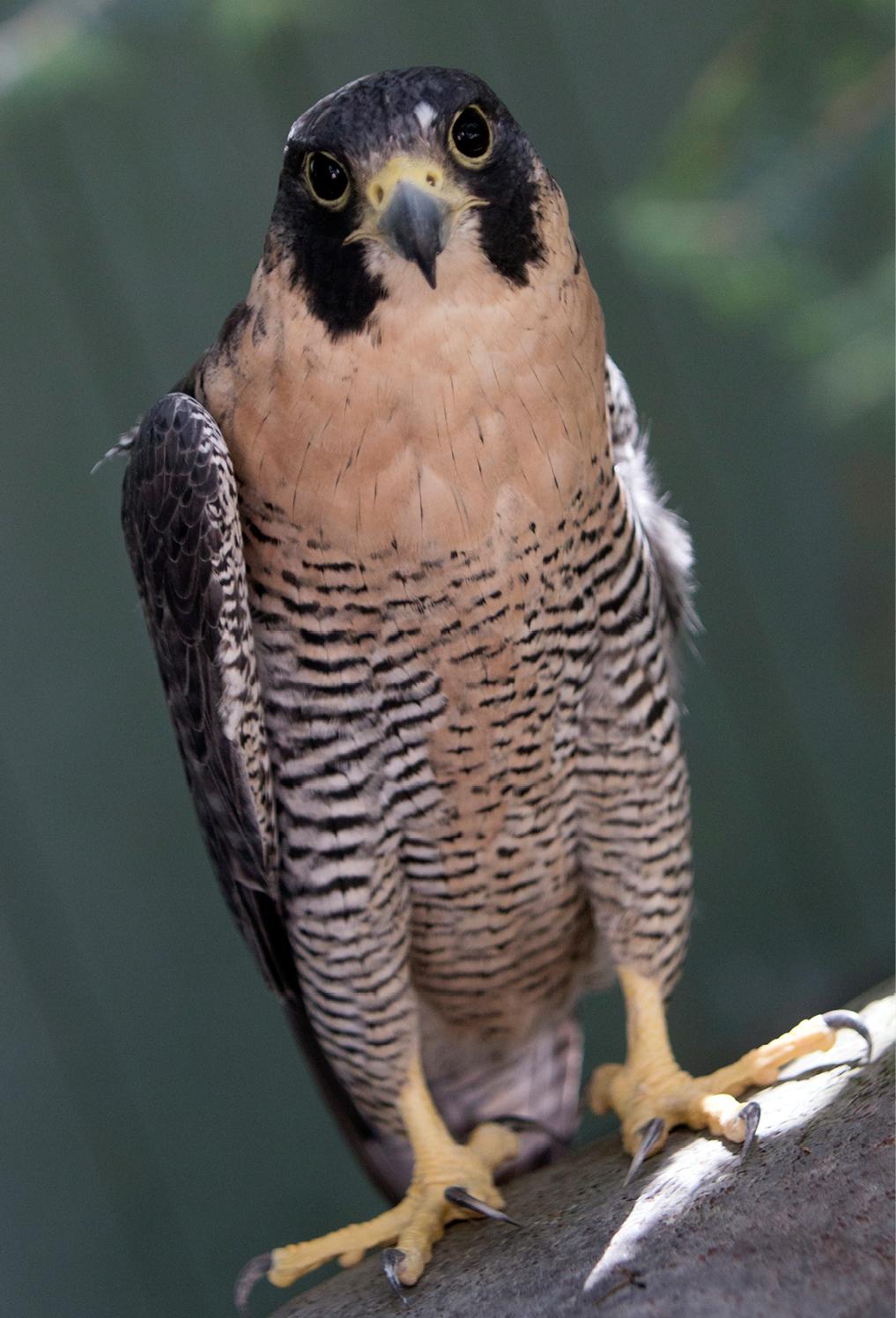 Peregrine Falcon Conway 1