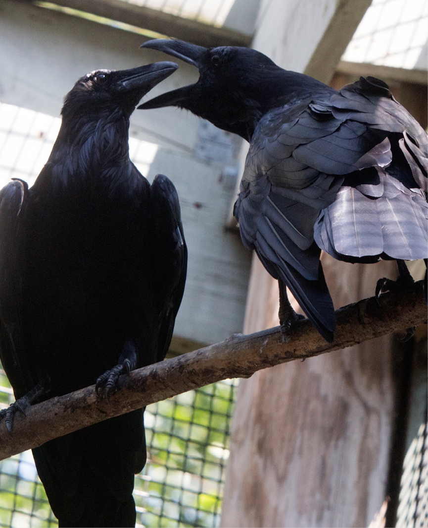 Common Raven Middlebury 3