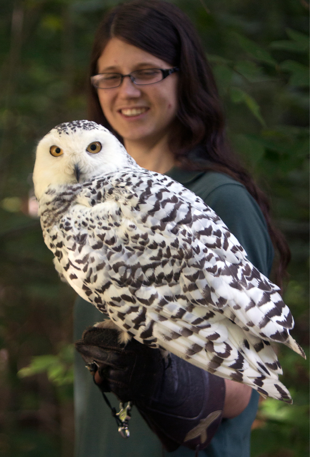Snowy Owl Bedford 1