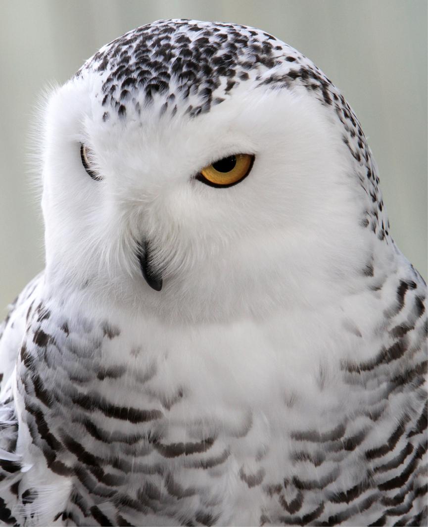 Snowy Owl Bedford 3