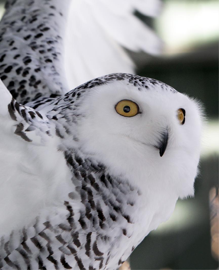 Snowy Owl Bedford 2