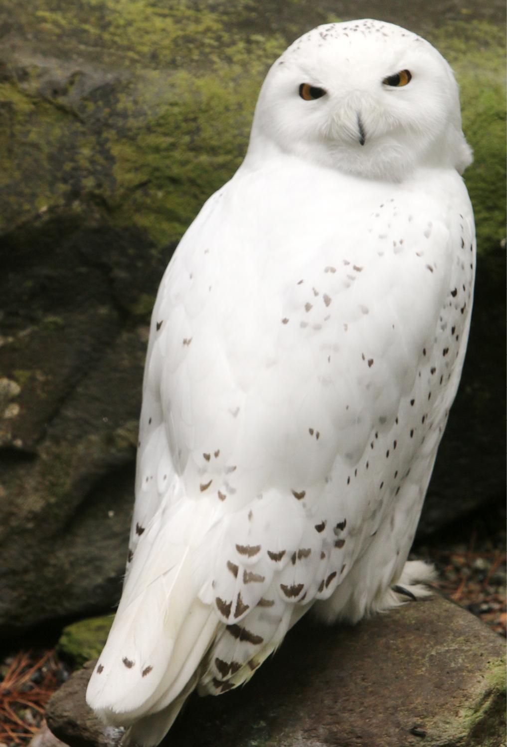 Snowy Owl LaGuardia 1