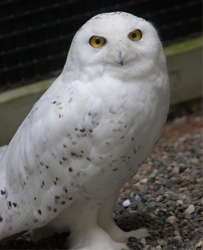 Snowy Owl LaGuardia 2