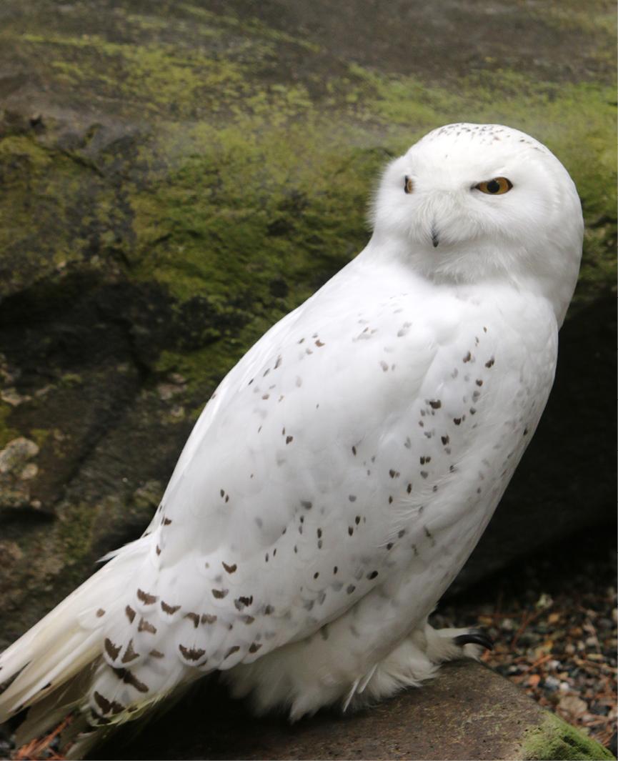 Snowy Owl LaGuardia 3