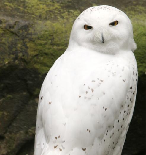 Snowy Owl LaGuardia