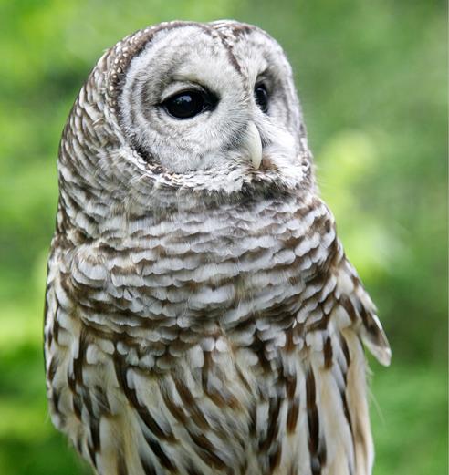 Barred Owl Troy