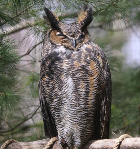 Great Horned Owl Barnard