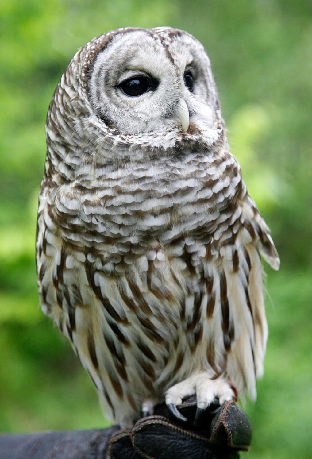 Barred Owl Troy 1