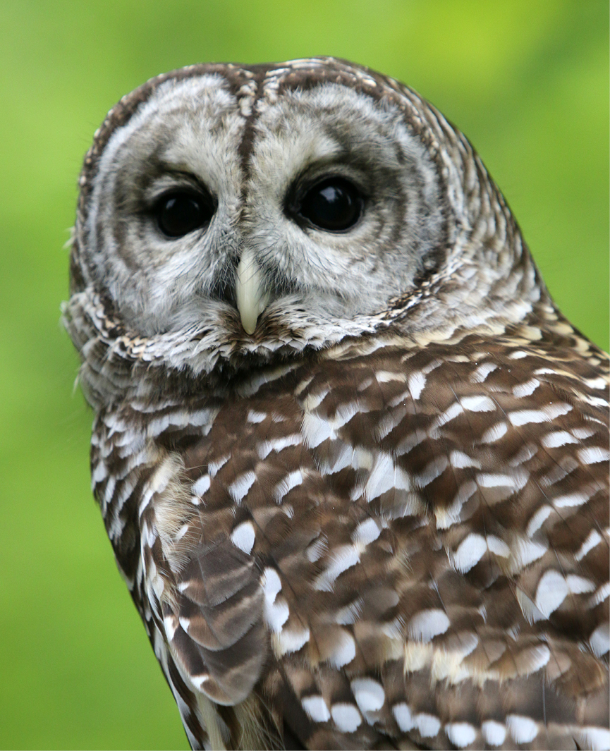 Barred Owl Troy 3