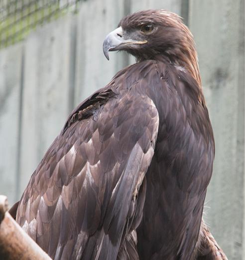 Golden Eagle Arizona