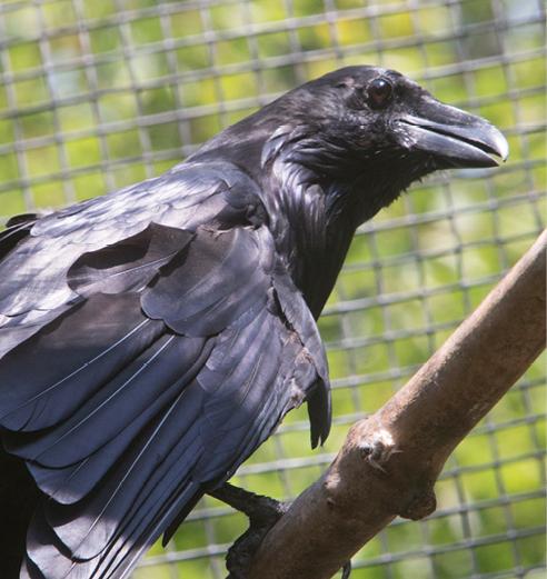 Common Raven Middlebury