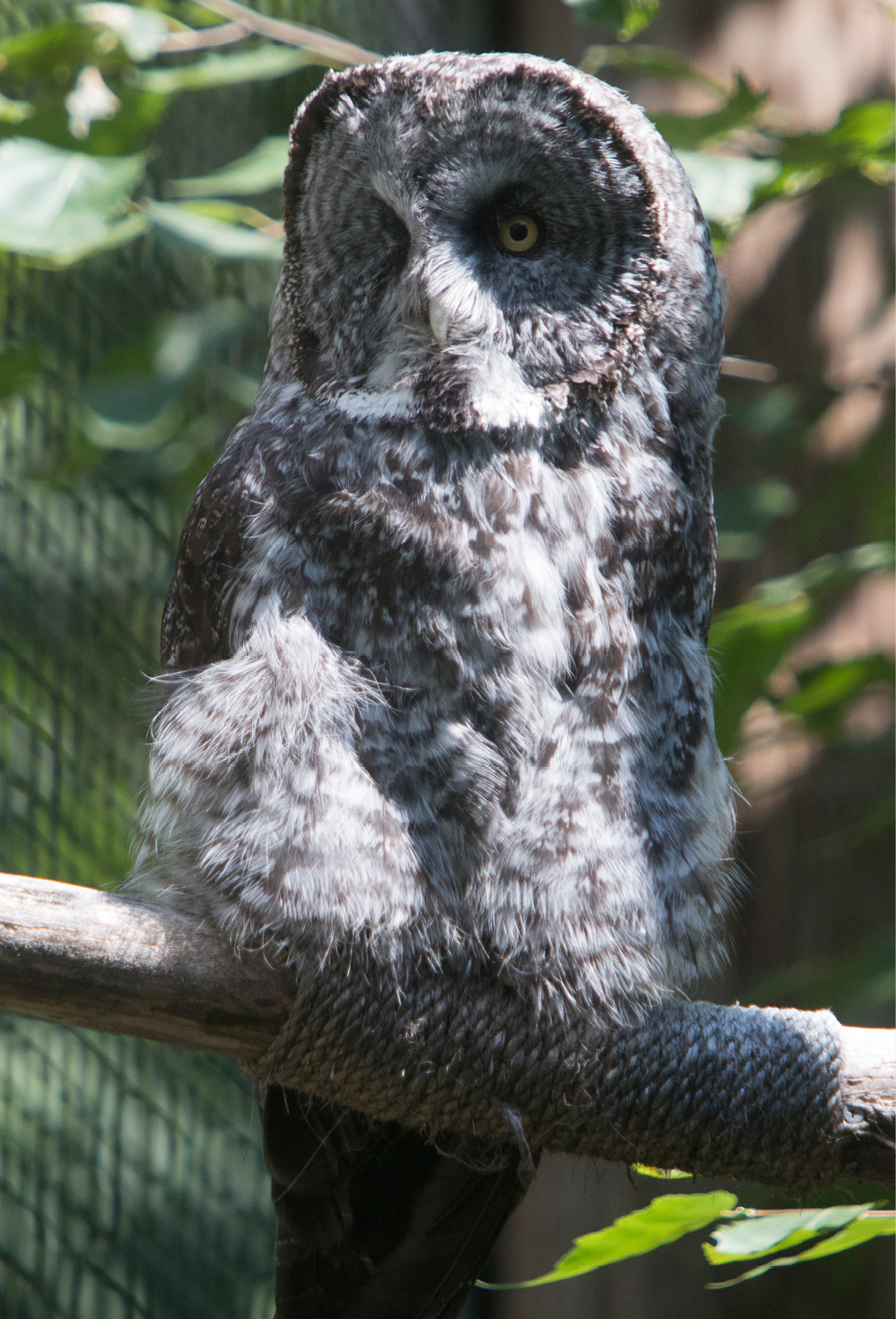 Great Gray Owl Louis 1