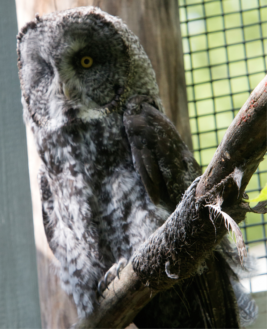 Great Gray Owl Louis 2