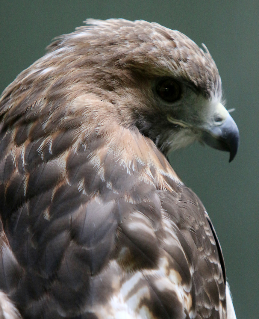 Red-tailed Hawk Kent 2