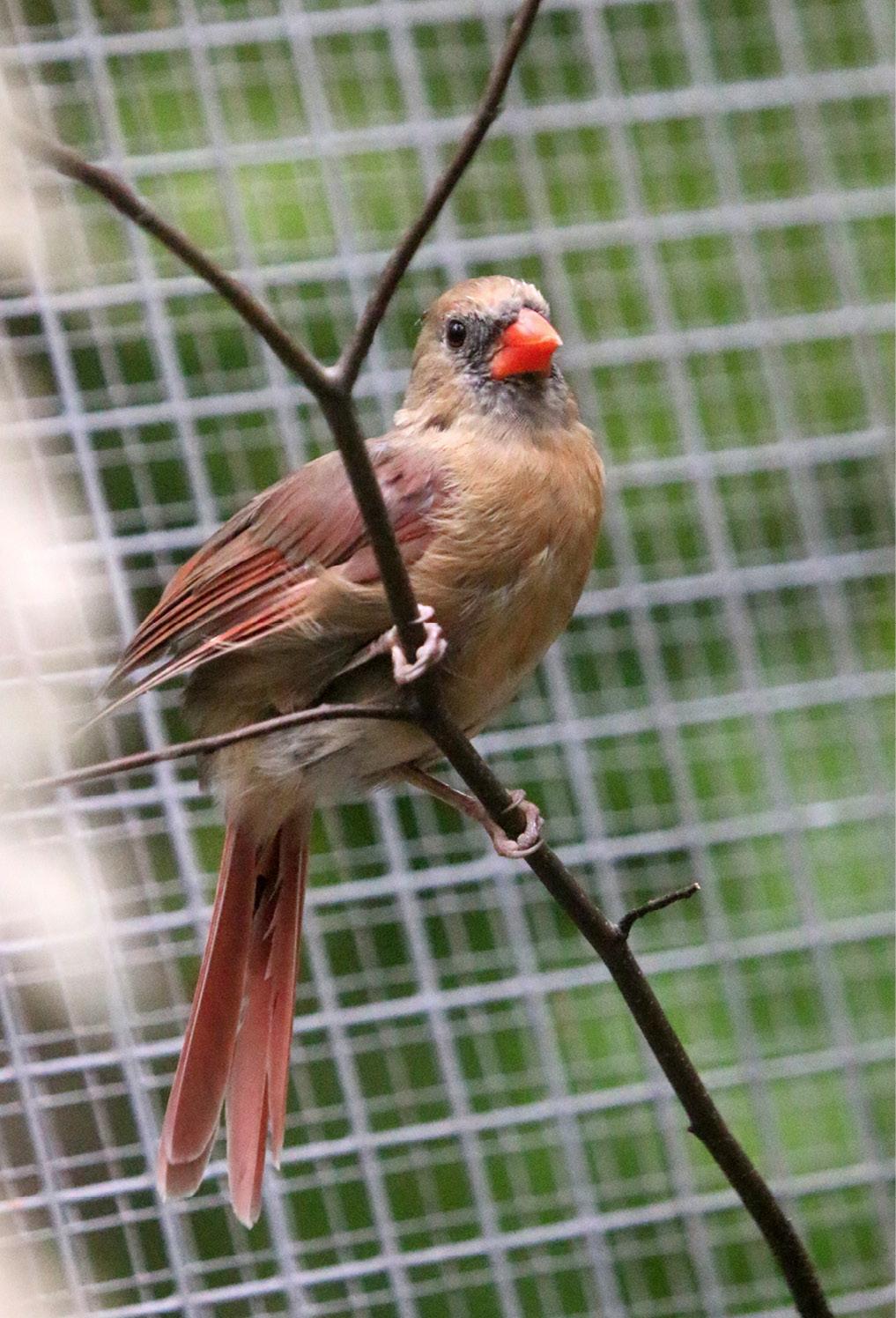 Northern Cardinal - Wilder 1