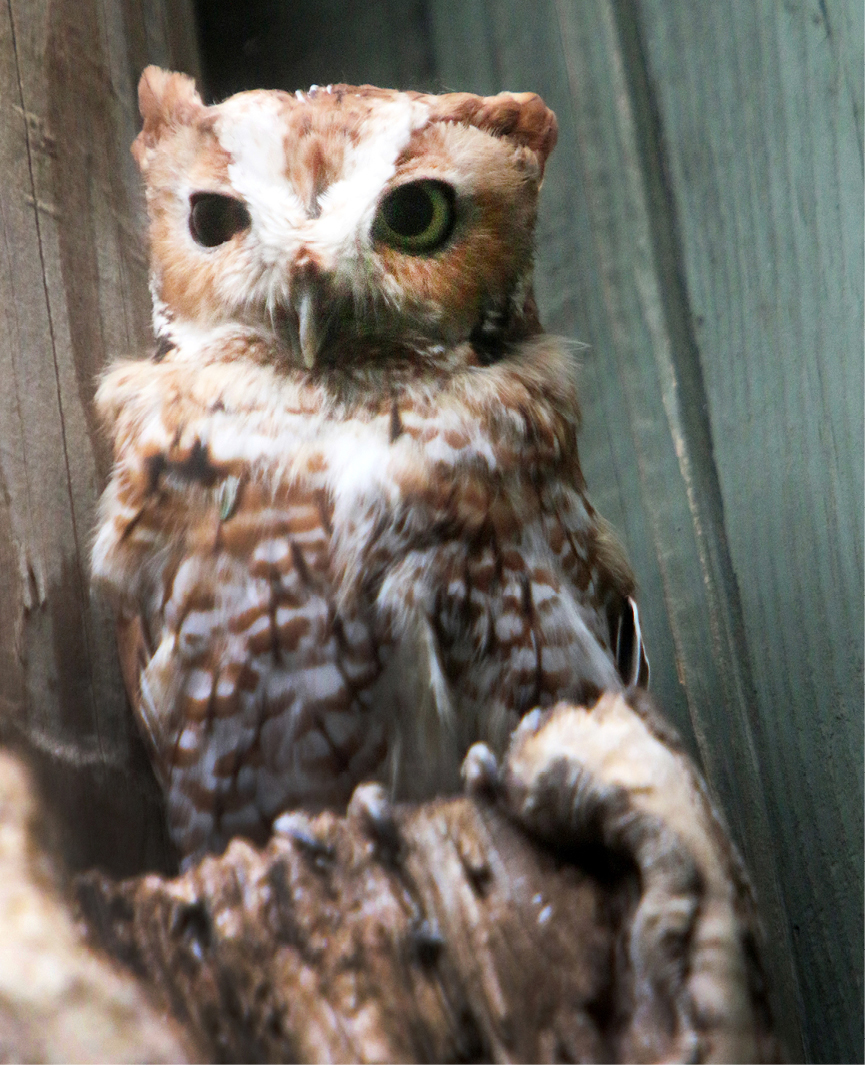 Eastern Screech Owl Kentucky 3