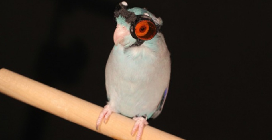 Obi the Parrotlet