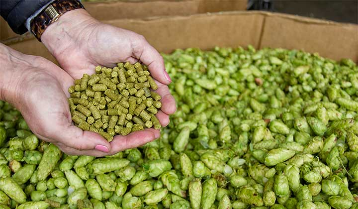 Houblon en pellets vs houblon en cônes. Source : the Daily News