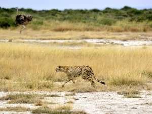 trip217_7_kenia_gepard