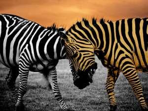 trip217_6_kenia_zebras