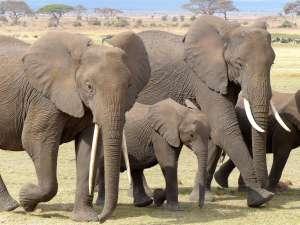 trip216_2_kenya_elefantenherde