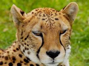 trip216_8_kenia_gepard