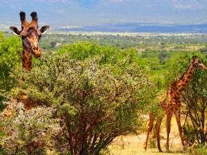 trip216_6_kenya_giraffen